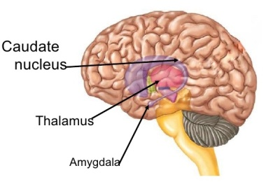 caudate-nucleus-intution